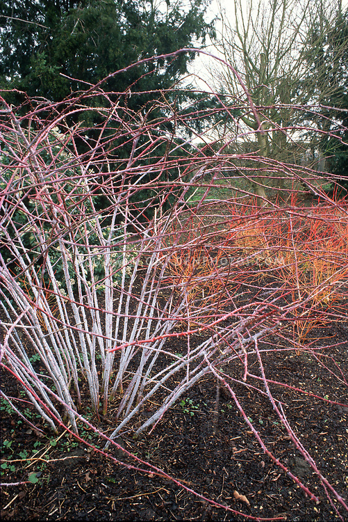 Rubus cockburnianum  - white-stemmed bramble, Ghost Bramble - & Cornus sanguinea 'Winter Beauty aka common dogwood in firey red and orange winter branches. Angelsey Abbey, UK