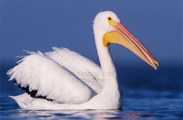 American White Pelican, Pelecanus erythrorhynchos, adult swimming, Rockport, Texas, USA, December 2003