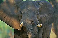 African elephant bull (Loxodonta africana).  Mana Pools National Park, Zimbabwe.