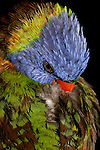 Rainbow Lorikeet preening back feathers, Brisbane Australia   //   Rainbow Lorikeet - Psittacidae: Trichosurus haematodus. Length to 30cm; wingspan to 45cm; weight to 150g; Found in northern and eastern Australia from the Kimberley Region in northern Western Australia (Red-collared Lorikeet) to eastern South Australia. Occurs in forests, woodlands, heath, and rural and urban areas. Aviary-escapees are established in many towns and cities. Widespread with many subpsecies - often with a different name - from eastern Indonesia through New Guinea east to Vanuatu and New Caledonia, north to the Philippine Islands.   Some feathers change colour when a Rainbow Lorikeet changes is wet - the differences in colour types- either pigment-related or structure-related cause this. In this lorikeet the colour of predominantly green feathers, such as on the wings and back, comes mainly from the micro-structure of the feather barbules that interfere with light wavelengths changing one colour to another; When molecules of water in the rain fill in these micro-structures the green colour appears to be brown. Pigment-based colours are not affected, unless they have both pigment- and structural- attributes. When dry this bird will return to its normal gaudy plumage. Also called Bluey in Australia. IUCN Status: Least Concern.  //Eric Lindgren//