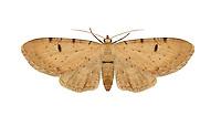 70.180 (1833)<br /> Bleached Pug - Eupithecia expallidata