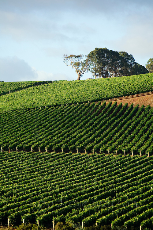 Vineyard in the renowned Pipers River wine region.  Pipers River, Tasmania, AUSTRALIA