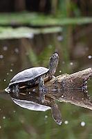 Europäische Sumpfschildkröte, beim Sonnenbad auf einem Ast, Treibholz, mit Spiegelbild, Sumpf-Schildkröte, Emys orbicularis, European pond turtle, European pond terrapin