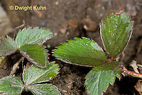 ST01-501z Wild Strawberry with water pooling on the leaf surface, Fragaria virginiana
