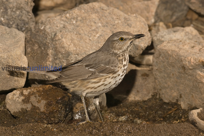 Sage Thrasher drinking at a water drip (Oreoscoptes montanus), Arizona, USA.