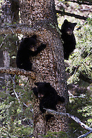 Black Bear Triplets