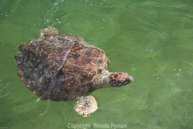 Loggerhead sea turtle with Fibropapilloma tumor.