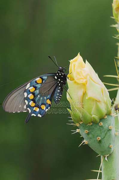 Pipevine Swallowtail, Battus philenor, adult on Texas Prickly Pear Cactus (Opuntia lindheimeri), Uvalde County, Hill Country, Texas, USA, April 2006