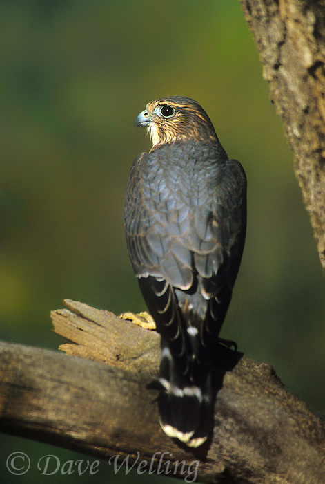 559310005 a captive merlin a small falcon falco columbarius perches in a large tree in central colorado united states