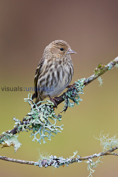 Pine Siskin (Carduelis pinus) perched on a branch, Victoria, British Columbia, Canada.