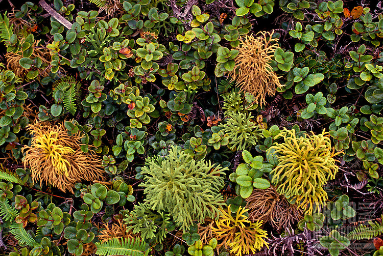 A thick lushgrouping of native Hawaiian plants (wawae, lole and ohia) in a bog on the island of Molokai.