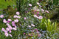 France, Manche (50), Saint-Germain-des-Vaux, Jardin en Hommage à Jacques Prévert, massif de plantes vivaces avec, marguerite du Cap, myosotis, oxalis, scolopendre
