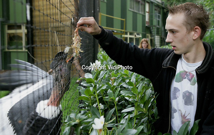 Foto: VidiPhoto..VELDHOVEN - De Algemene Inspectiedienst (AID) en de politie hebben dit jaar al 2199 inheemse vogels in beslag genomen. Dat is bijna twee keer zoveel als in 2006. De gevangen wilde vogels worden verhandeld op markten, beurzen en via internet. De handel levert veel geld op, want er is veel vraag naar elke zang-, weide- en roofvogel. Een vogelhouder betaalt zo'n 75 euro voor een putter en tussen de 400 en 1000 euro voor een havik. Papegaaienpark Veldhoven is één van de opvangcentra voor in beslag genomen vogels. Op dit moment worden daar tientallen illegale vogels verzorgd, zowel inheemse als uitheemse exemplaren. Foto: Een in beslag genomen en agressieve Andes condor wordt gevoerd.