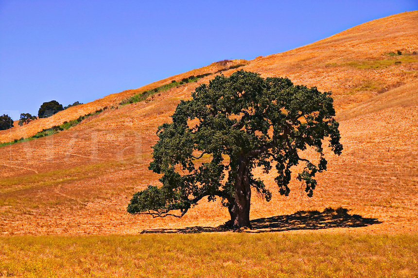 Oak tree, Sonoma, California