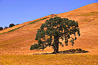 Oak tree, Sonoma, California
