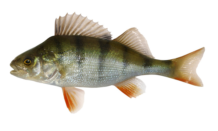 Perch Perca fluviatilis Length 25-40cm <br /> This is a distinctive and well-marked predatory fish. It forms shoals when young but is usually solitary when large. Adult has a greenish body with broad, vertical dark stripes; it is well camouflaged when lurking among water plants. Note the two separate dorsal fins, the first very spiny; other fins are usually tinged red. The Perch is widespread and common in rivers and lakes in most areas except N Scotland.