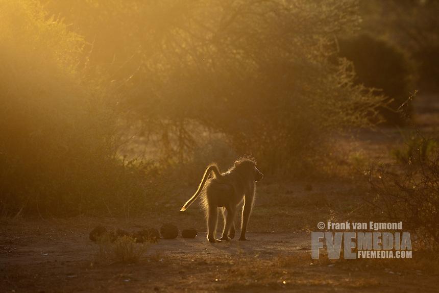 Chacma Baboon (Papio Ursinus)...Mashatu Game Reserve..Tuli block, Botswana..November 2010.