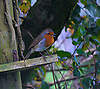 The European robin (Erithacus rubecula), known simply as the robin or robin redbreast in the British Isles, is a small insectivorous passerine bird, specifically a chat, that was formerly classified as a member of the thrush family (Turdidae) but is now considered to be an Old World flycatcher. About 12.5&ndash;14.0 cm (5.0&ndash;5.5 inch) in length, the male and female are similar in colouration, with an orange breast and face lined with grey, brown upperparts and a whitish belly. It is found across Europe, east to Western Siberia and south to North Africa; it is sedentary in most of its range except the far north.<br />