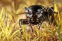 Field Cricket - Gryllus campestris