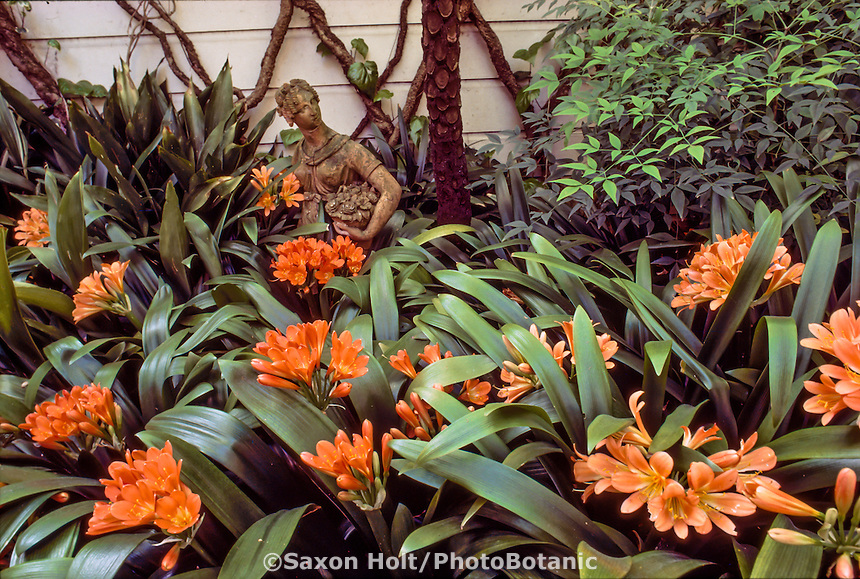 Clivia miniata (Kaffir Lily) orange flower in garden designed by landscape architect Thomas Church