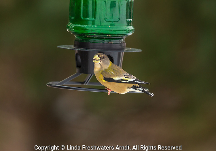 Female evening grosbeak perched on a Wisconsin bird feeder.