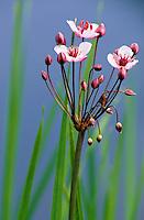 Schwanenblume, Schwanen-Blume, Wasserliesch, Blumenbinse, Butomus umbellatus, flowering rush, grass rush, water gladiolus, Blume des Jahres 2014
