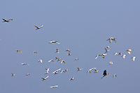 Spoonbills and herons in flight, Ars en Re, Ile de Re, France