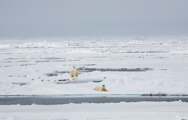 Two bears sitting around a kill they have fed from earlier. Pack ice West of Spitsbergen