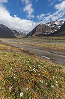 Windflower blossoms on the tundra in the Brooks Range mountains, Itkillik river, Gates of the Arctic National Park, Alaska