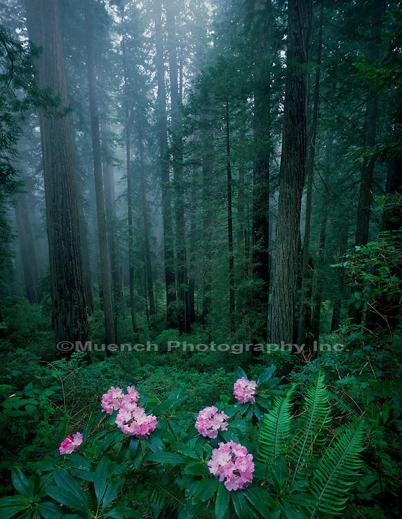 """Rhododendrons  Del Norte Coastal  Del Norte Coastal Redwoods SP, Redwood NP  CALIFORNIA"""