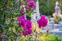 Roses - Sacramento Cemetery