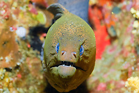 undulated moray eel, Gymnothorax undulatus, Similan Islands, Andaman Sea, off the coast of Phang Nga Province, southern Thailand, Indian Ocean