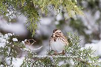 01575-01907 Song Sparrow (Melospiza melodia) in Juniper tree (Juniperus keteleeri) in winter Marion Co. IL