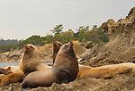 Steller Sea Lions, Salish Sea Puget Sound