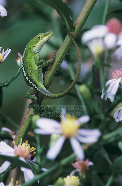 Green Anole, Anolis carolinensis, young on Aster, Palmetto State Park, Texas, USA
