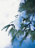 Snow covered pine tree detail