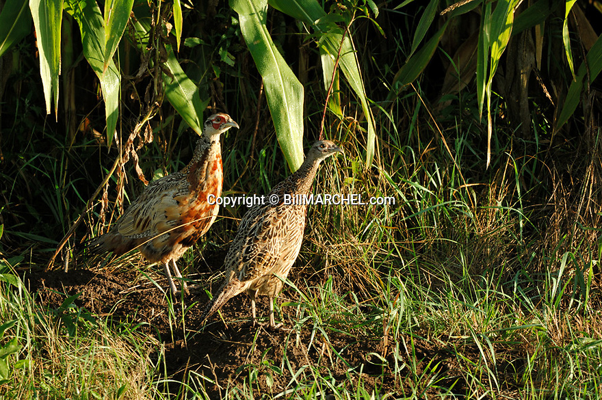 00890-034.14 Ring-necked Pheasant (DIGITAL) A young hen and rooster are on edge of corn during late summer.  Hunting, bird.  H3R1