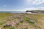 The Pink thrift is in bloom during early May 2014 under fair weather Cumulus clouds up on the cliffs that overlook Freshwater Bay, Isle of Wight.