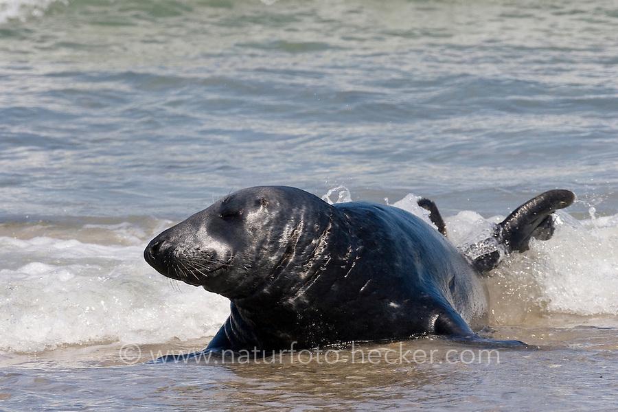Kegel-Robbe, Bulle, Männchen, Halichoerus grypus, Grey Seal, Phoque gris