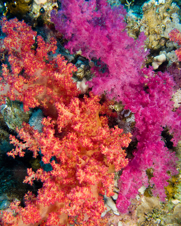 "Red Sea, Egypt -- Beautiful soft corals grow on the reef wall. © Rick Collier / RickCollier.com.......Egypt; ""Red Sea""; vacation; travel; destination; underwater; uw; ""u/w""; scuba; ""scuba dive""; ""scuba diving""; dive; diving; coral; reef; ""coral reef""; ""dive site""; ""Ras Muhammad""; ""Ras Mohamed""; ""national park""; ""underwater park""; ""Ras Muhammad National Park""; ""nature reserve""; Yolanda; ""Yolanda reef""; ""soft coral"""