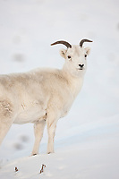 Dall sheep ewe stands in the snow along the Brooks Range mountains in Atigun canyon.