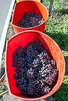 Vendemmia in Valtellina. Ponte in Valtellina, 15 settembre, 2007<br /> <br /> Grape harvest in Valtellina. Ponte in Valtellina, September 15, 2007