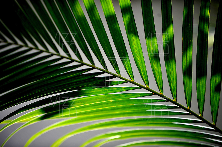 CALI-COLOMBIA-15-01-2013. Hoja de Palma. Palm Leaf. (Photo: VizzorImage/Luis Ramirez).