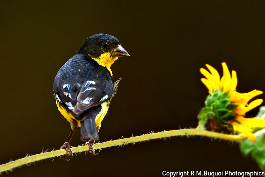 Lesser Goldfinch on Sunflower Stem