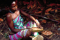 Woman farmer taking out pulp of baobab fruit (Adansonia digitata) to prepare a drink full of vitamin C