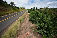 Botelhos_MG, Brasil...Plantacao de cafe proximo a uma rodovia em Botelhos...Coffee plantation next to a highway in Botelhos...Foto: LEO DRUMOND / NITRO