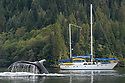 Adult humpback whale (Megaptera novaeangliae) diving in deep water channel with Island Roamer yacht in the background. Great Bear Rainforest, British Columbia, Canada. September 2018