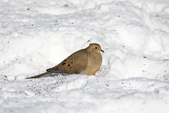 01081-01116 Mourning Dove (Zenaida macroura) feeding on ground in winter, Marion Co., IL