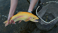 Arkansas Game and Fish Commission purchased golden trout from a commercial hatchery in Missouri and stocked them in the White River below Bull Shoals Dam.<br />