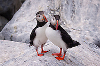Puffins, Machias Seal Island, Maine